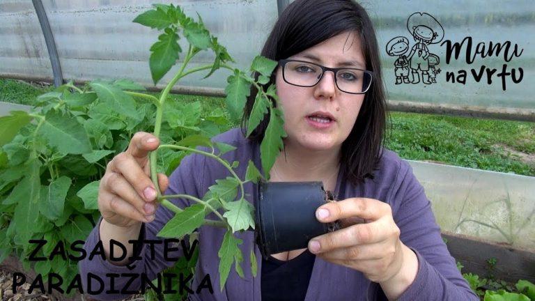 Zasaditev paradižnika